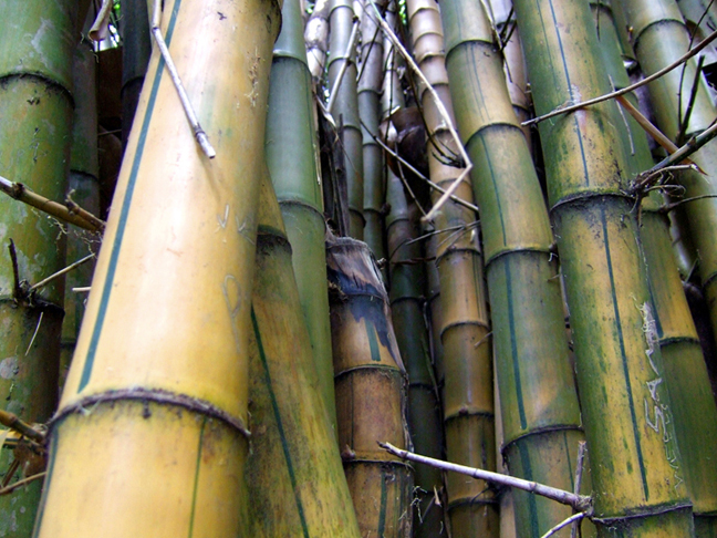 Bamboo in Bangalore © 2006 by Lili Bernard